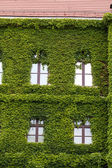 Fotografie Wall of a building  covered with ivy