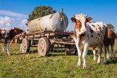 Fotografie stádo krav na letní zelené pole