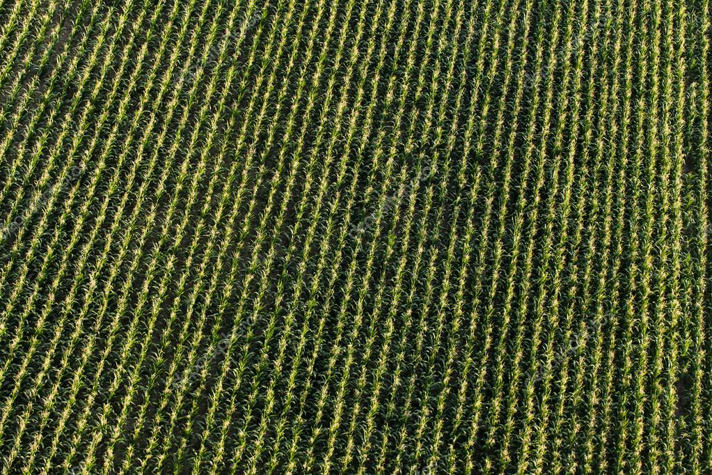aerial view of harvest  corn field