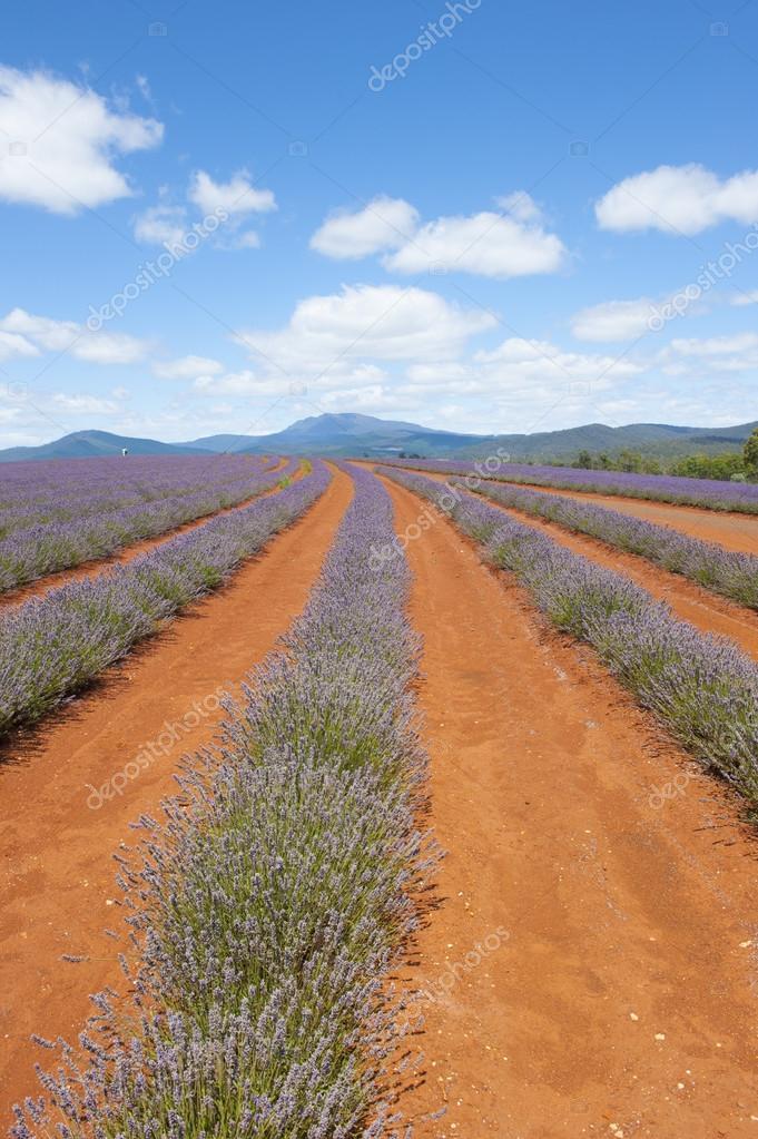 Field of Lavender Tasmania Australia