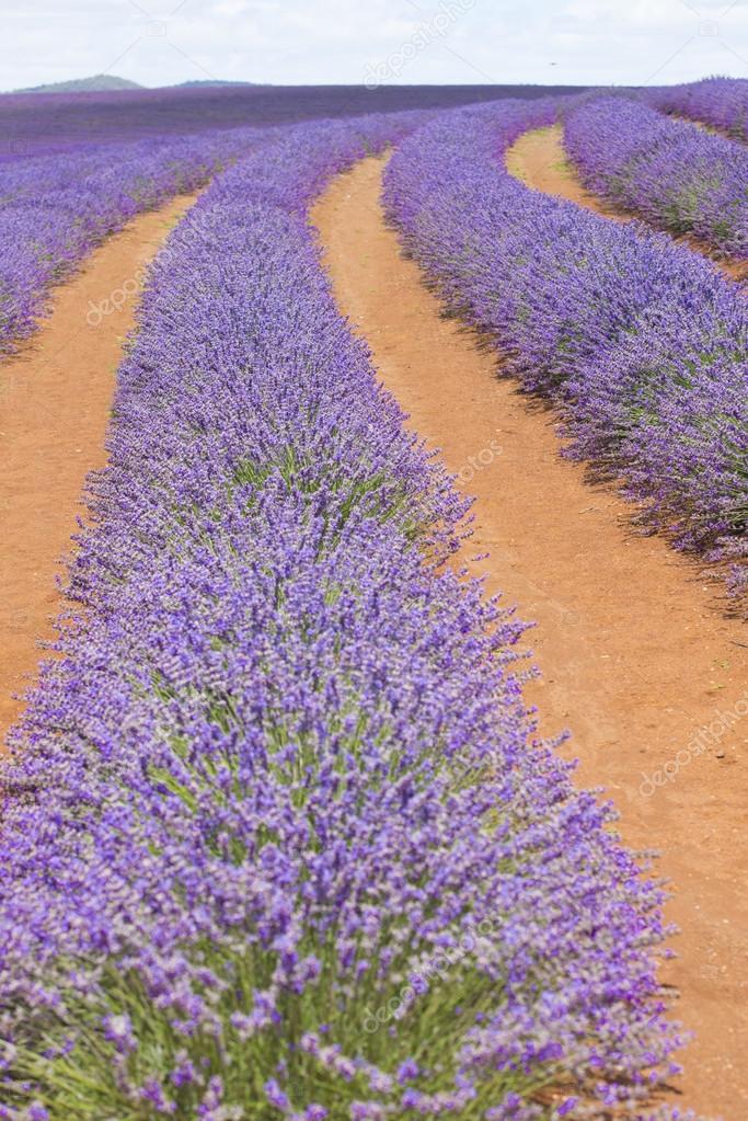 Tasmanian Purple lavender field