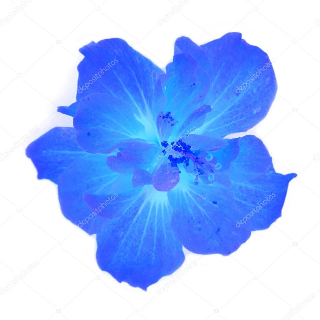 Blue Hibiscus Flower Stock Photo Thawats 58750079
