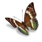 barna pillangó