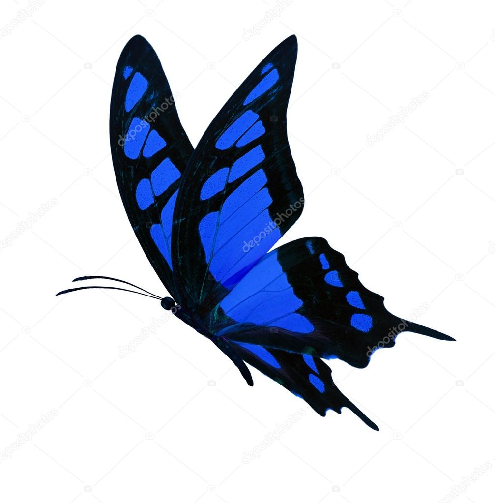 black and blue butterfly flying wwwpixsharkcom