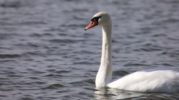 Zeitlupenaufnahme eines weißen Schwans, der allein im See schwimmt