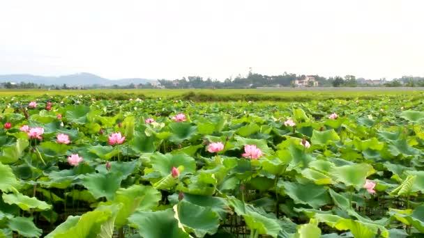 Lotus flower blooming in the lake stock video dinhngochung 81211478 lotus flower blooming in the lake stock video mightylinksfo