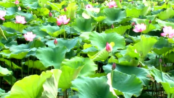 Lotus Flower Blooming In The Lake Stock Video Dinhngochung 81211702