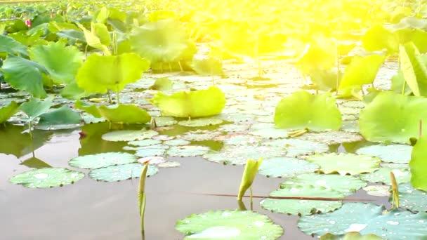 Lotus flower blooming in the lake stock video dinhngochung 81312620 lotus flower blooming in the lake stock video mightylinksfo