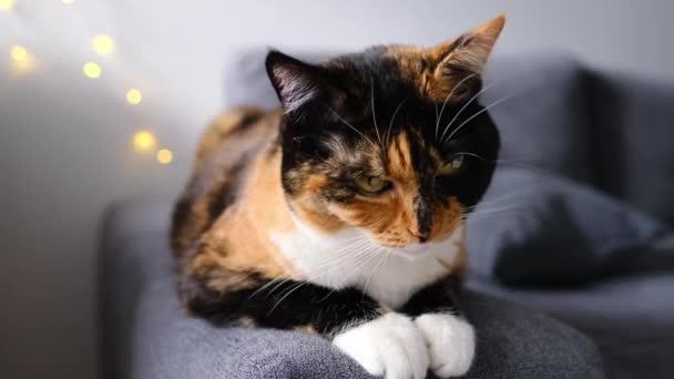 schöne erwachsene Hauskatze liegt stolz auf dem Teppich, schaut sich um, das Konzept der Haltung von Vierbeinern, Tierarzt, Liebe zu Tieren