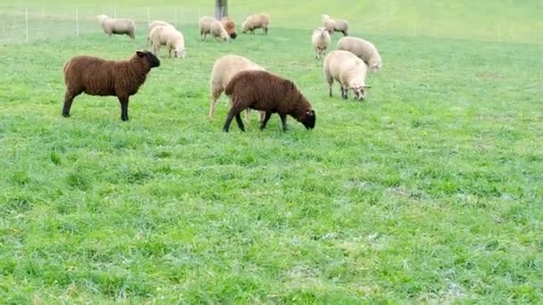 Schwarze und weiße Schafe grasen auf der Wiese, Häuser sind im Hintergrund zu sehen, Konzept der Wirtschaft, Landwirtschaft, Zucht