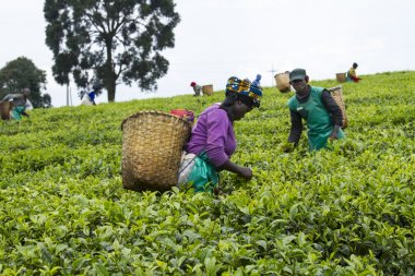 Workers at a tea plantation