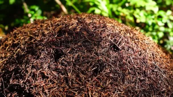Mraveniště v létě lese