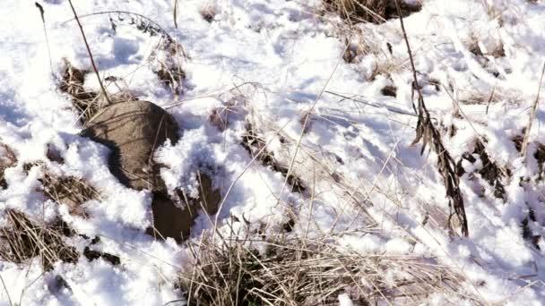 Loňské trávě pod sněhem v mrazivé jarní den