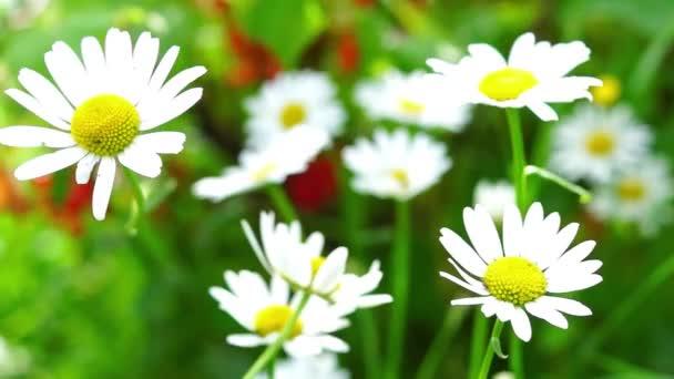 Květy sedmikrásky živé letní