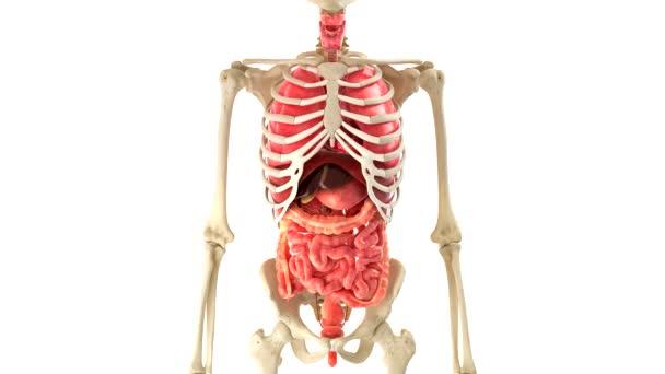 Animált emberi szervekkel, fehér háttér, alfa-csatorna felett