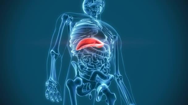 orgánů bolesti jater