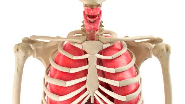 Lidské tělo a vnitřní orgány v rotaci smyčky