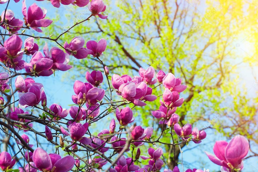 Rbol de magnolia bloomy con grandes flores rosas foto - Arbol de rosas ...