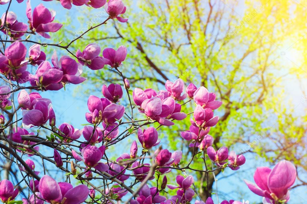Bloomy magnolia tree with big pink flowers stock photo timonko bloomy magnolia tree with big pink flowers stock photo mightylinksfo