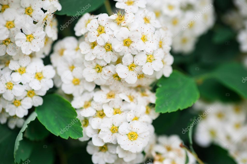 Trauben weiß blühende Sträucher Hintergrund im Frühlingspark ...