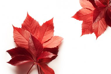 red autumn leaves on a white background and space for text