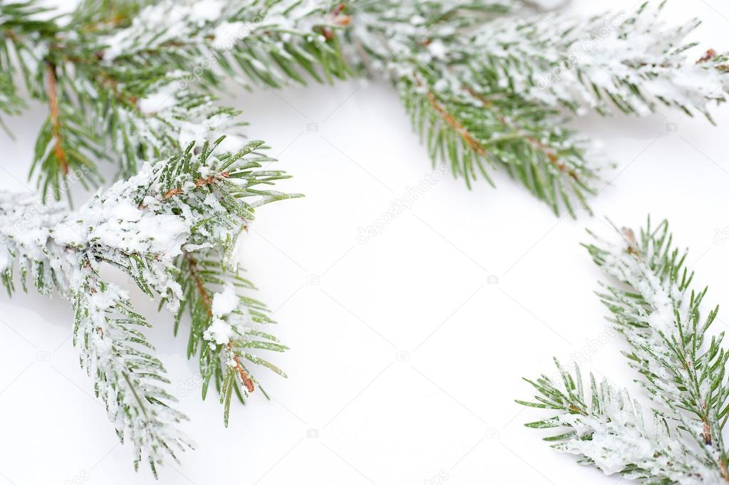 Branch of Christmas tree in snow, on white background