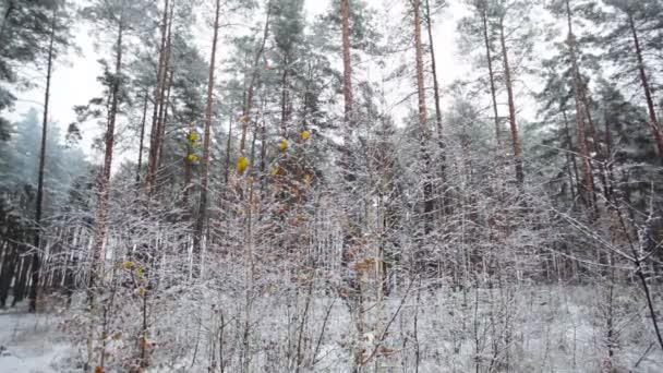 borový les v zimě a padající sníh