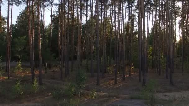 Sluneční paprsky se nalije přes stromy v borovém lese
