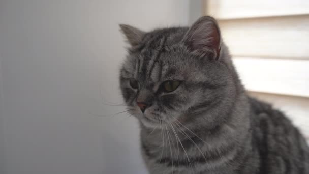 Porträt einer grauen Katze auf der Fensterbank