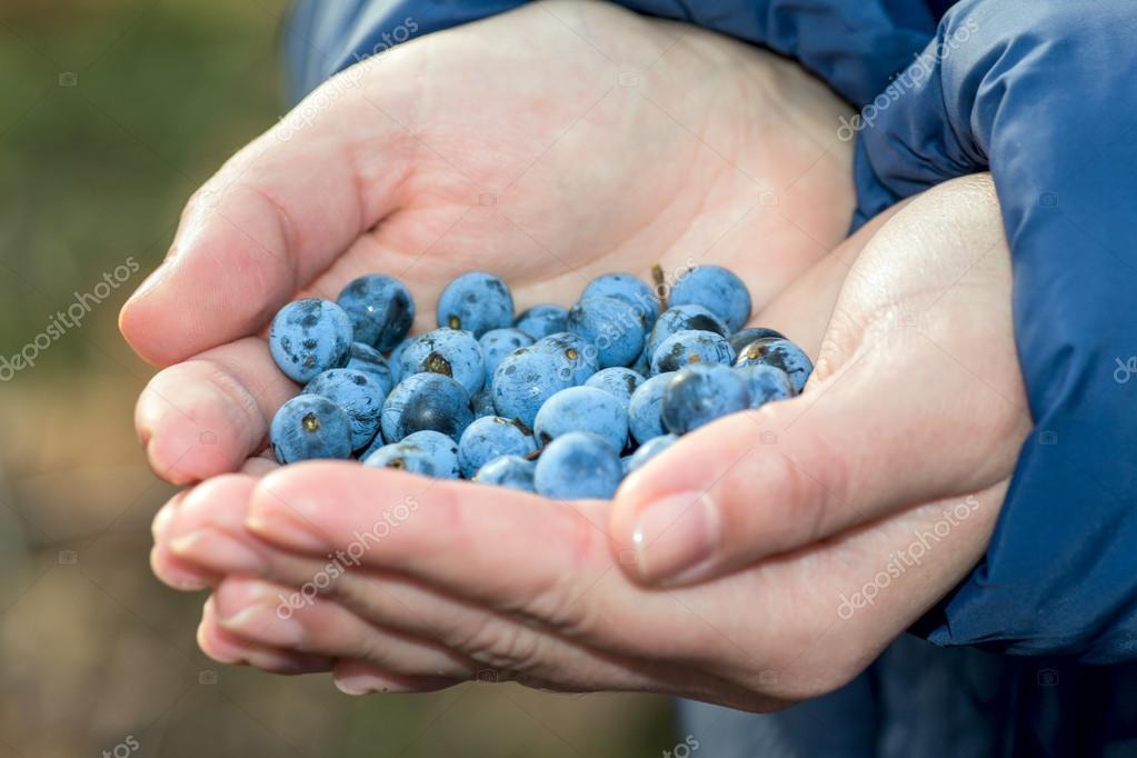 hand full of sloes berries