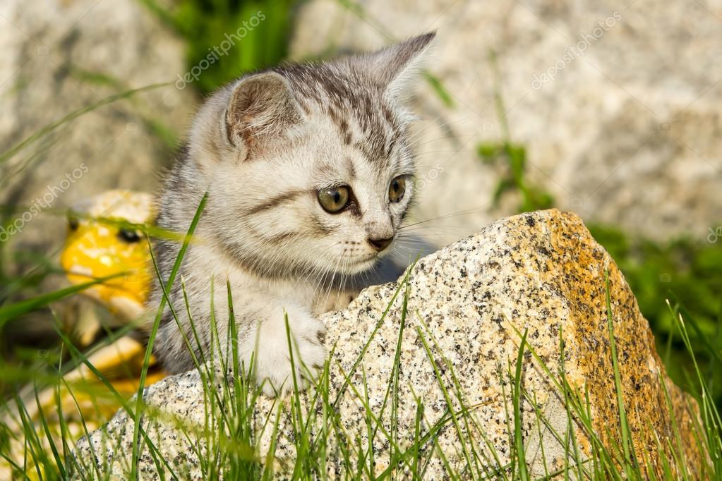 small sand colored kitten on green grass stock photo dadooda
