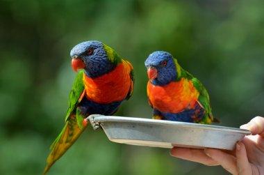 Two Rainbow Lorikeet parrots drinking