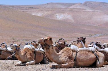 Convoy of Camels rest during a desert voyage