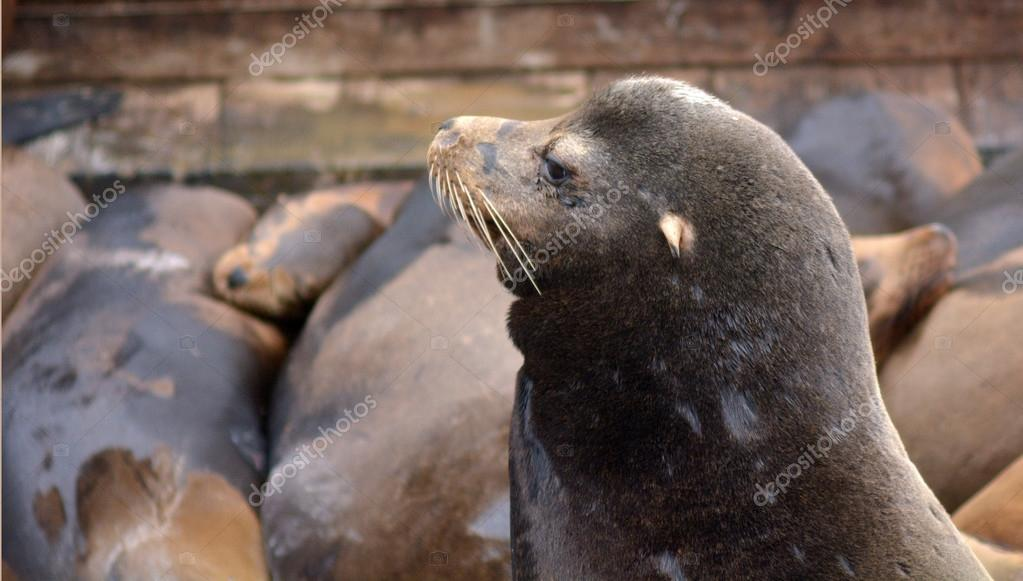 Portrait of a Sea lion at the Sea Lions colony of Pier 39