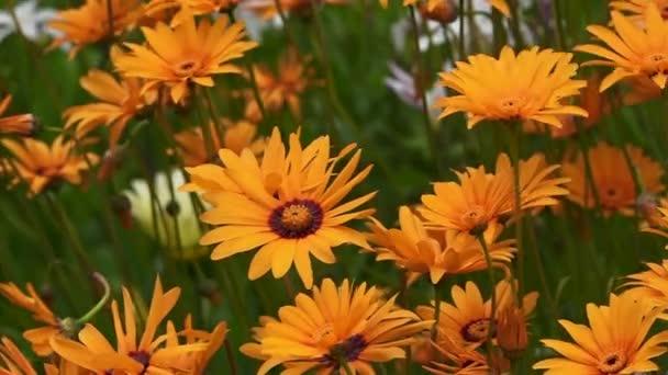Orange sedmikrásky kytice