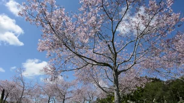 Cseresznyefák orchard