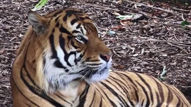 portrét tygr sumaterský
