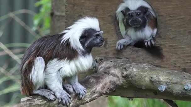 Two Cotton-top Tamarin
