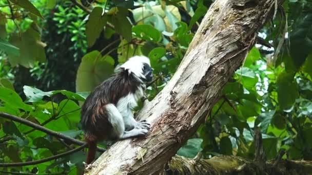 Top di cotone Tamarin arrampicarsi su un albero