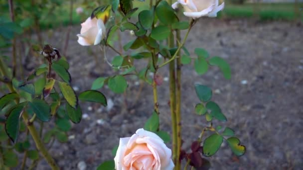 Dolly Shot von rosa gelber Rose Blume.