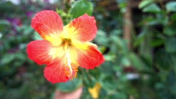 Dolly feles hibiszkusz virág.