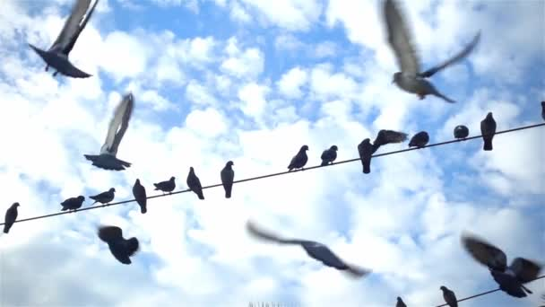 Lassú mozgású felvétel városi galambokról, amint elektromos vezetékeken röpködnek.