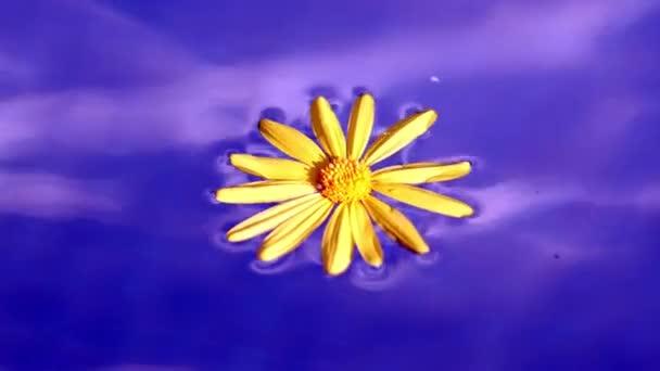 Žlutá Daisy plovoucí v modré tekuté vodě pozadí záběry.