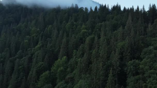 Amazing inspirational epic drone shot of marvelous pine forest in morning, there is magical fog all way to horizon. Inspiring and mesmerizing calm tranquil shot of flying at summer or autumn morning