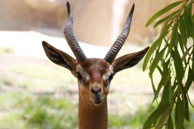 A beautiful gazelle in San Diego Zoo