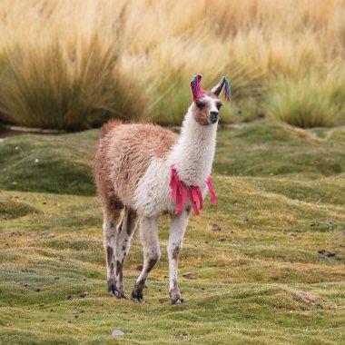 Llama on the meadow