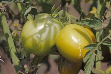 Lycopersicon esculentum, Solanum lycopersicum