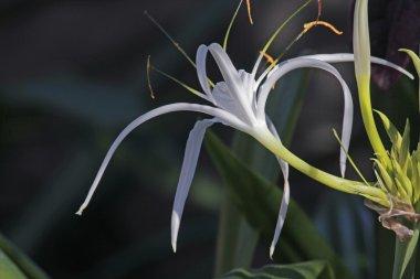 Spider lily, Beach spider lily, Hymenocallis littoralis