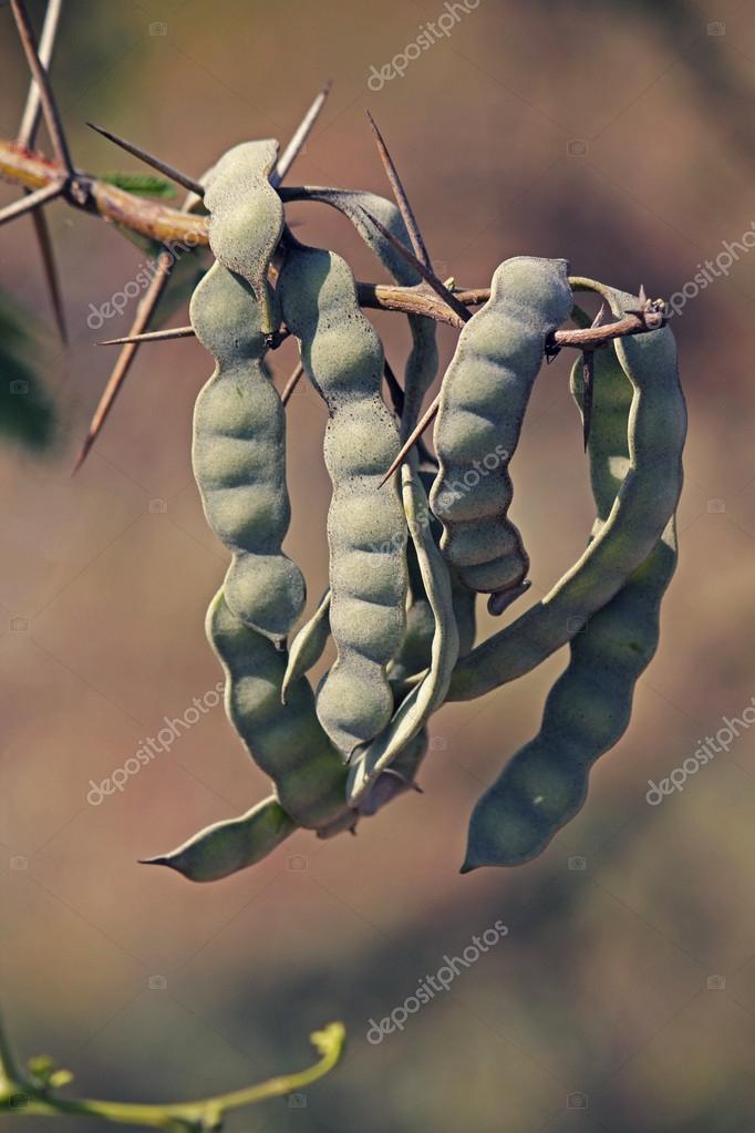 Pods of Vachellia nilotica, Acacia Nilotica, Babhul tree, India