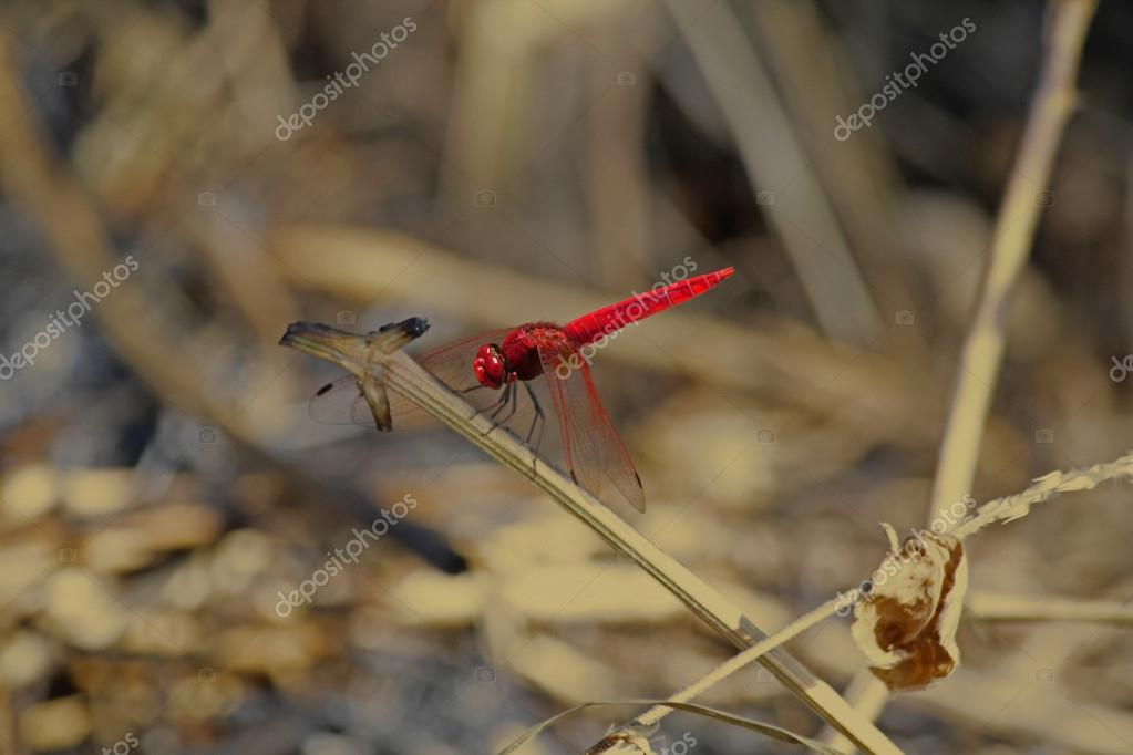 Scarlet dragonfly, Crocothemis erythraea